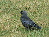 "<div style=""text-align: left;"">Jackdaw (Coloeus monedula), is a passerine bird in the crow family. Found across Europe, western Asia and North Africa, it is mostly sedentary, although northern and eastern populations migrate south in winter. Jackdaw eyes are very unusual. Unlike their close relatives, the rooks and crows – which have very dark eyes – jackdaw eyes are almost white or silver and their striking pale irises are very conspicuous against their dark feathers. Recent research from Cambridge shows that jackdaw eyes are used as a warning signal successfully to deter competitors from coming near their nesting places. </div>"