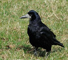 "<div style=""text-align: left;"">Rook (Corvus frugilegus). A member of the Corvidae family in the passerine order of birds. Named by Carl Linnaeus in 1758 the species name frugilegus is Latin for food-gathering - they are well known for creating caches of food and attractive oddments.</div>"
