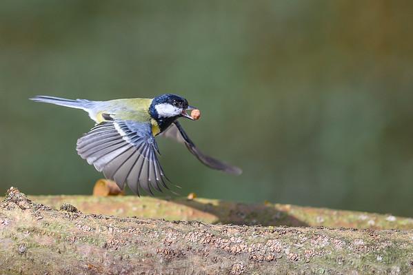 Great Tit in flight