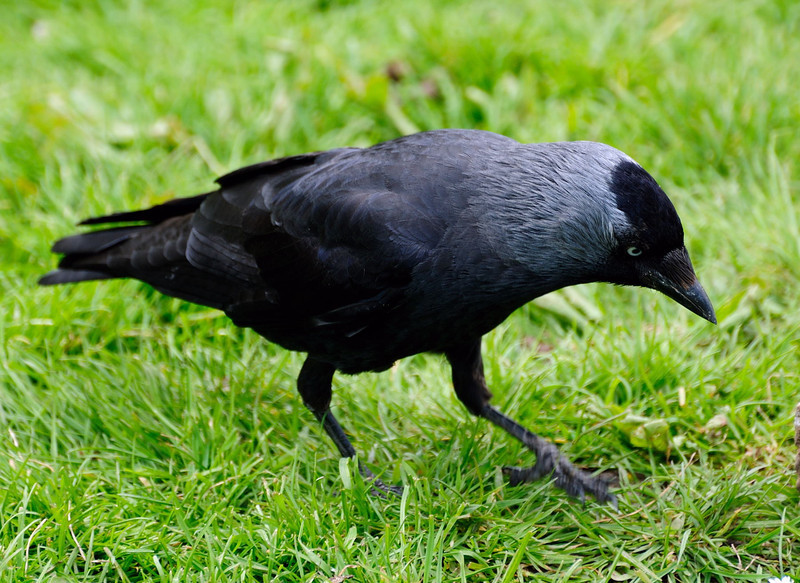 """<div style=""""text-align: left;"""">Jackdaw (Coloeus monedula), is a passerine bird in the crow family. Found across Europe, western Asia and North Africa, it is mostly sedentary, although northern and eastern populations migrate south in winter. Jackdaw eyes are very unusual. Unlike their close relatives, the rooks and crows – which have very dark eyes – jackdaw eyes are almost white or silver and their striking pale irises are very conspicuous against their dark feathers. Recent research from Cambridge shows that jackdaw eyes are used as a warning signal successfully to deter competitors from coming near their nesting places. </div>"""