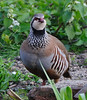Red-legged Partridge (Alectoris rufa) in my garden