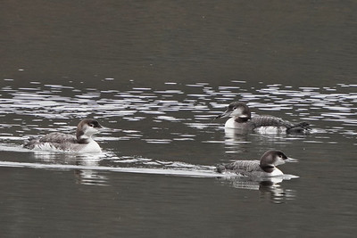 Common Loons (winter)