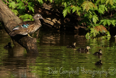 Wood Duck Mom on Watch