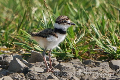 Killdeer Chick
