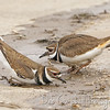 Killdeer Courtship