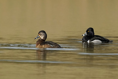Ring-neck Duck pair
