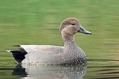 Gadwall Duck (male)