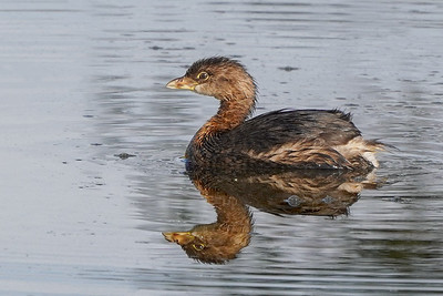 Pied-bill Grebe Reflections