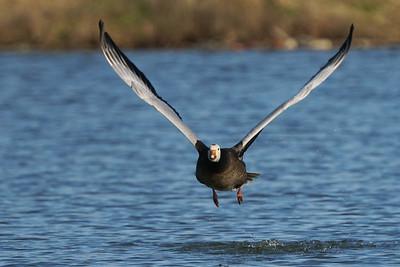 Snow Goose (blue morph)