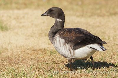 Brant (goose)