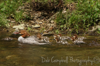 Common Merganser with babies