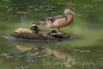 Wood Duck Hen with Duckling