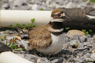 Killdeer Mom with Chick