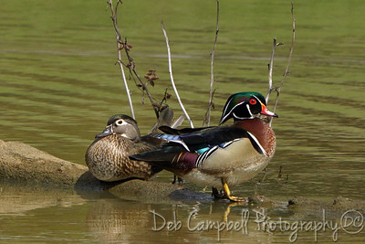 Wood Duck (drake and hen)