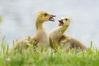 Squabbling Goslings