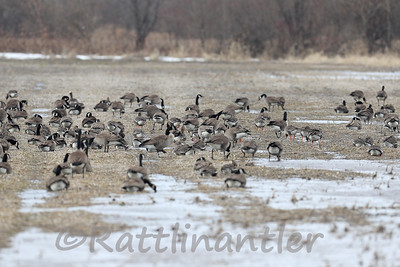 Canada Geese with Greater White-Fronted Geese