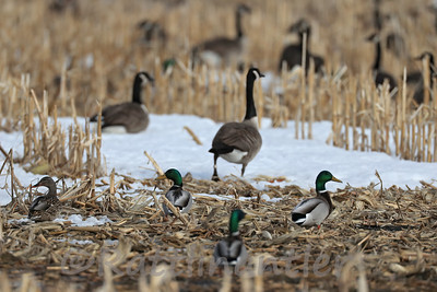 Canada Geese (Leg-Banded) and Mallards