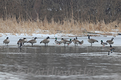 Canada Geese and Mallards - 3 are Leg-Banded