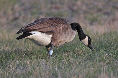 Canada Goose with Tarsus Band
