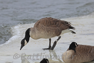 Canada Goose - Leg Banded