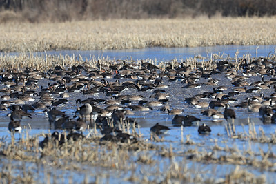 Canada Geese and Greater White-Fronted Geese