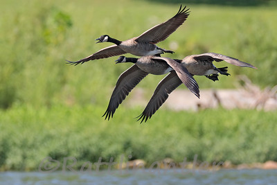 Canada Geese - All three Leg-Banded