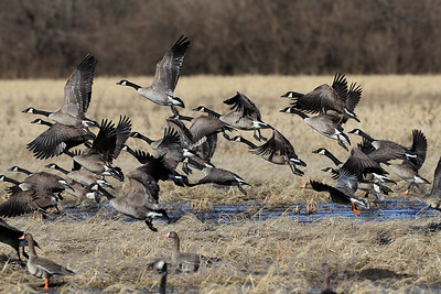 Greater White-Fronted Geese and Canada Geese