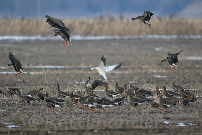 Greater White-Fronted Geese and Snow Goose