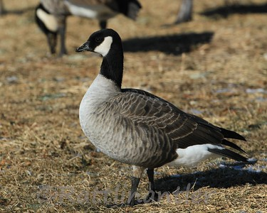 Lesser and Cackling Geese