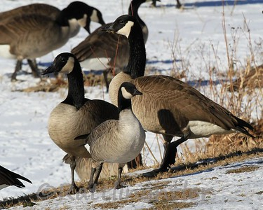Cackling Goose with Canada Geese
