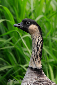 Nene or Hawaiian Goose