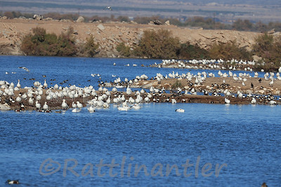 Snow Geese and other Waterfowl