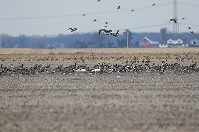 Canada, Snow, and Greater White-Fronted Geese