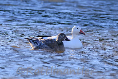 Snow Goose and Blue Morph Snow Goose