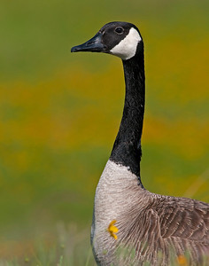 Canada Goose, Wichita Mountains Wildlife Refuge, Oklahoma