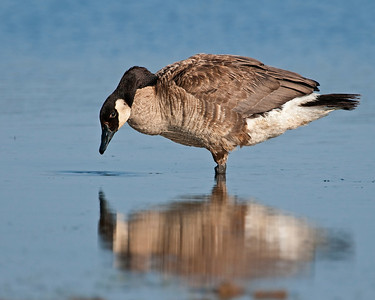 Canada Goose, Wichita Mountains National Wildlife Refuge, OK