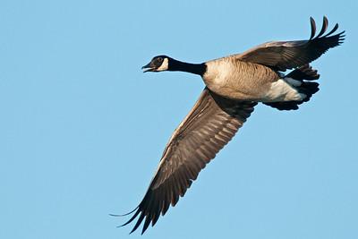 Canada Goose, Fort Cobb Wildlife Management Area, Oklahoma
