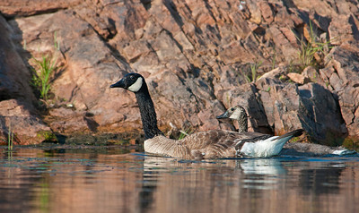 Canada Geese, Wichita Mountains Wildlife Refuge, OK