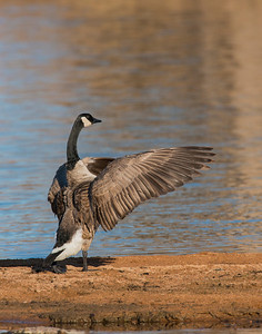 Canada Goose, Wichita Mountains Wildlife Refuge, OK