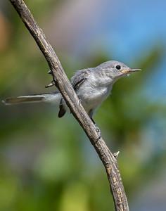 Blue-Gray Gnatcatcher, Wichita Mountains National Wildlife Refuge