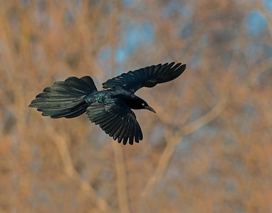 Great Tailed Grackle, White Rock Lake, TX