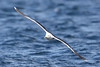 Great Blacked Backed Gull