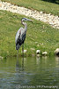 Great Blue Heron (2012)