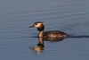 Great crested grebe (Podiceps cristatus) Somormujo lavanco