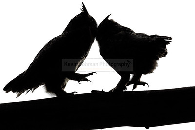Great Horned Owls in Silhouette