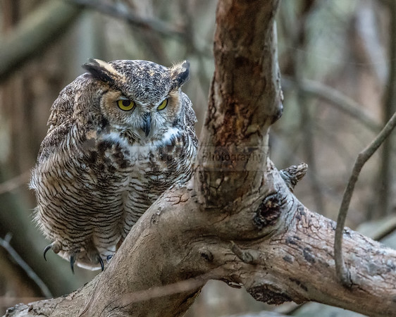 Great Horned Owl (female)