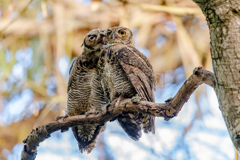 Great Horned Owls Share a Moment