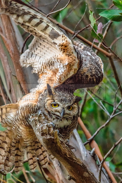 Great Horned Owl Wing Stretch