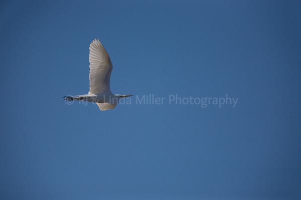 RJLM_WI  _83186  Great White Egret  2009-03