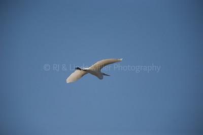 RJLM_WI  _83189  Great White Egret  2009-03